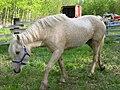 Bashkir Curly horse 2.jpg