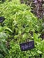 Basilic grand vert.JPG