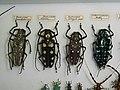 BatoceraandCalloplophorasollii.JPG