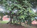 Bauhinia variegata L.jpg