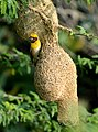 Baya Weaver Ploceus philippinus male Breeding plumage by Dr. Raju Kasambe DSC 5420 (21).jpg