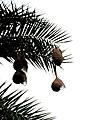 Baya weaver (Ploceus philippinus) on Phoenix sylvestris from Andhra Phoenix sylvestris from Andhra JEG8943.JPG
