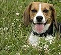 Beagle 001.jpg