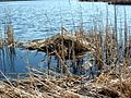 Beaver's nest in the marsh (4439222692).jpg