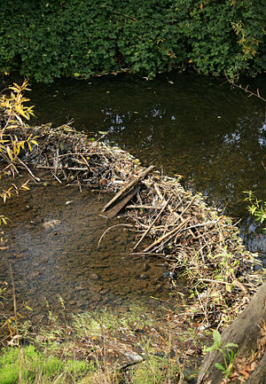 Sonoma Creek - Image: Beaver Dam Sonoma Creek, Sonoma Thanksgiving 2009