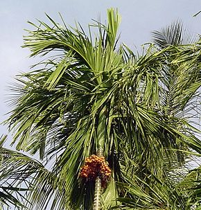 Description de l'image Beetle palm with nut bunch.jpg.