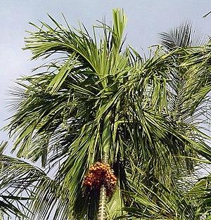 Areca catechu - Fruiting specimen