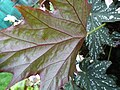 Begonia deliciosa-leaf back.JPG