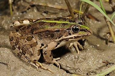 Epirus water frog