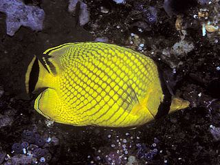 Latticed butterflyfish species of fish