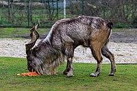Berlin Tierpark Friedrichsfelde 12-2015 img02 Markhor.jpg