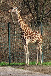 Rothschilds giraffe subspecies of mammal