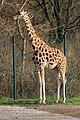 Berlin Tierpark Friedrichsfelde 12-2015 img08 Rothschild giraffe.jpg