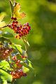 Berries (6037989820).jpg