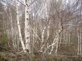 Betula aetnensis02.jpg