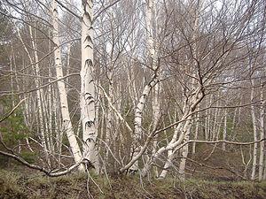 Betula aetniensis - Betula aetnensis