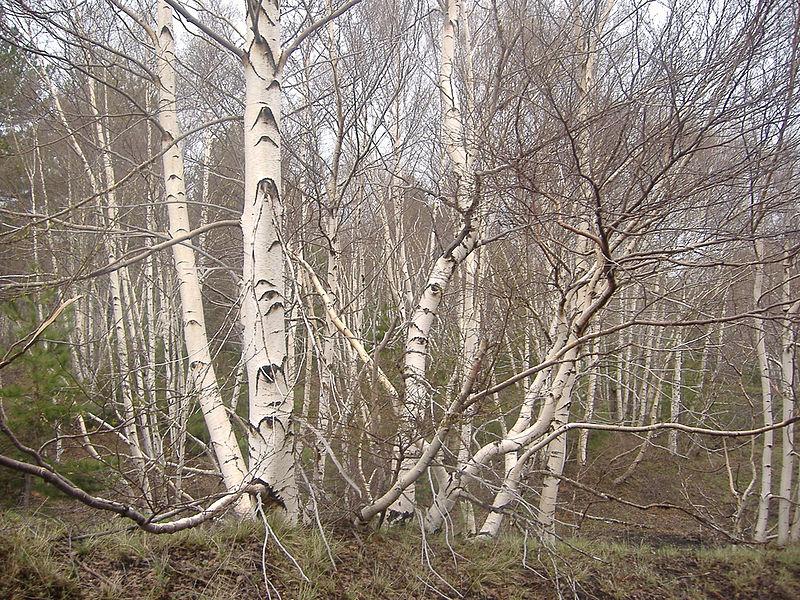 bouleau de sicile en forêt