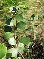 Betula pumila 1-eheep (5098081374).jpg