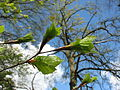 Beuk (Fagus sylvatica), ontluikend blad.JPG