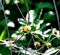 Bidens pilosa bee.jpg
