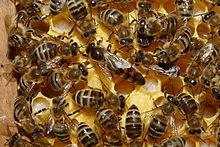 Des abeilles domestiques autour de leur reine, sur un rayon de miel
