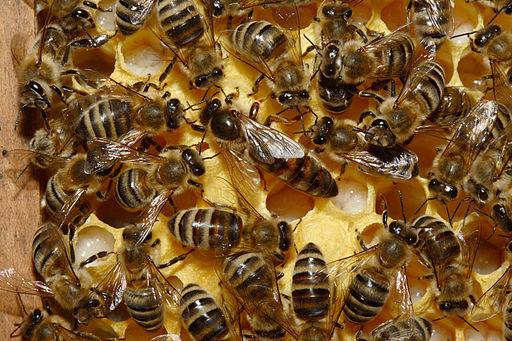 Bienenkoenigin 43a