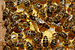 Bienenkoenigin 43a.jpg