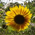Big-sunflower-up-close-and-personal.JPG