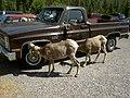 Big Horn Sheep- Perhaps licking salt from the wheel rims - panoramio.jpg