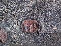 Big garnet amphibolite (Precambrian; Warrensburg, Adirondack Mountains, New York State, USA) 41.jpg
