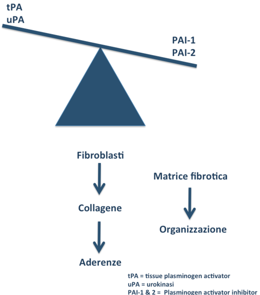 File:Biological events involved in peritoneal tissue repair and adhesion formation 01.png