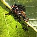 Biosphaerengebiet Schwaebische Alb Blattlaeuse und Ameisen.jpg