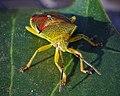 Birch Shieldbug (34016326750).jpg