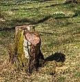 Birch stump in Gullmarsskogen.jpg
