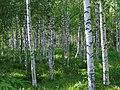 Birches in a summer meadow - Flickr - northofsweden.jpg