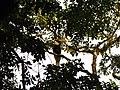 Bird Great Hornbill Buceros bicornis IMG 8659 17.jpg