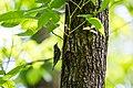 Black-and-white warbler (42139624661).jpg