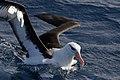 Black-browed Albatross (36414373662).jpg