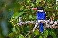 Black-capped Kingfisher in Sundarban.jpg