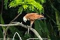 Black-collared Hawk with fish - Darién - Panama (48444146911).jpg