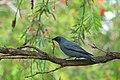 Black-faced Cuckooshrike - AndrewMercer - DSC01199.jpg