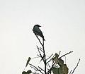 Black-winged Cuckooshrike (Coracina melaschistos) on Peepal (Ficus religiosa) at Jayanti, Duars W IMG 5686.jpg