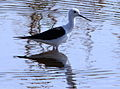 Black-winged Stilt, Common Stilt, or Pied Stilt, Himantopus himantopus at Marievale Nature Reserve, Gauteng, South Africa (23498655155).jpg