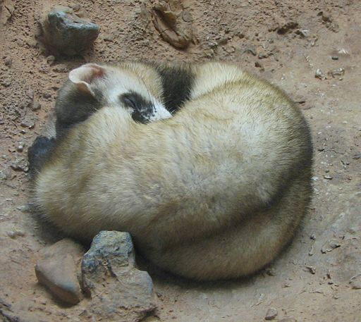 Black Footed Ferret Image 001