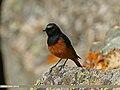 Black Redstart (Phoenicurus ochruros) (24599880469).jpg