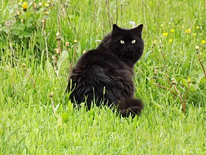 Black cat - Black cat with long hair