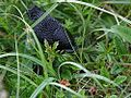 Black slug in grass.jpg