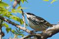 Blackpoll Warbler (2566190732).png