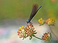 Blauflügel Prachtlibelle Calopteryx virgo-OhWeh.jpg