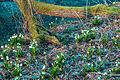 Bledule jarní v PR Králova zahrada 50.jpg
